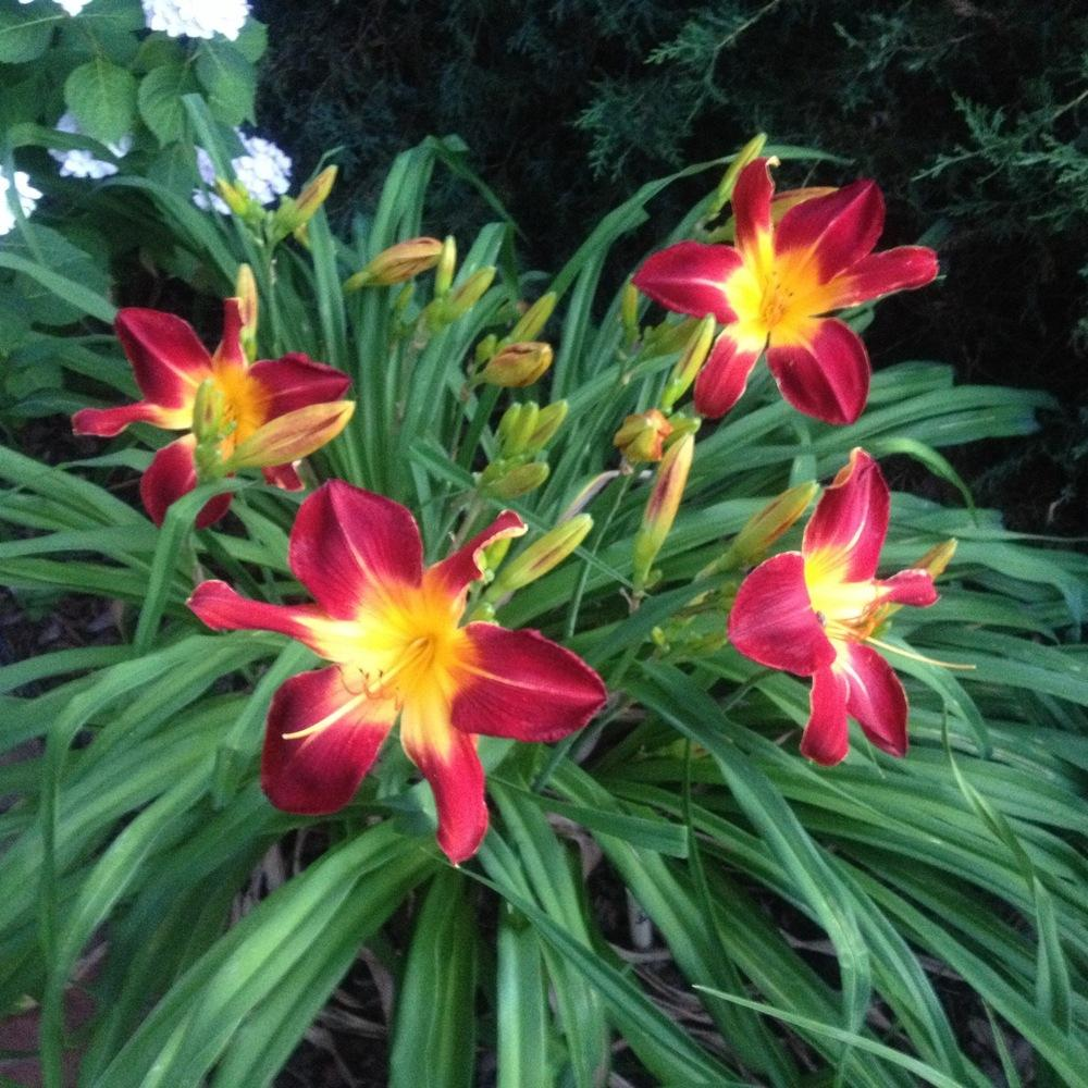 Photo of Daylily (Hemerocallis 'Ruby Spider') uploaded by csandt