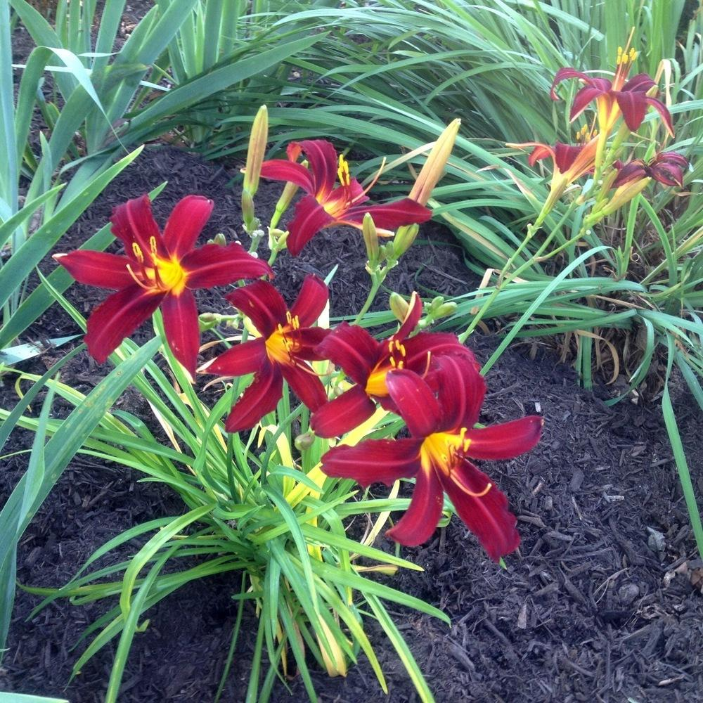 Photo of Daylilies (Hemerocallis) uploaded by csandt