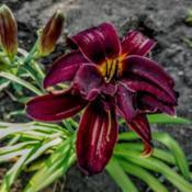 Location: My gardenDate: 2017-06-27Two blooms fused.