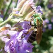 Location: ILDate: 2017-06-23#Pollination  Metallic Green Bee (Genus Agapostemon )