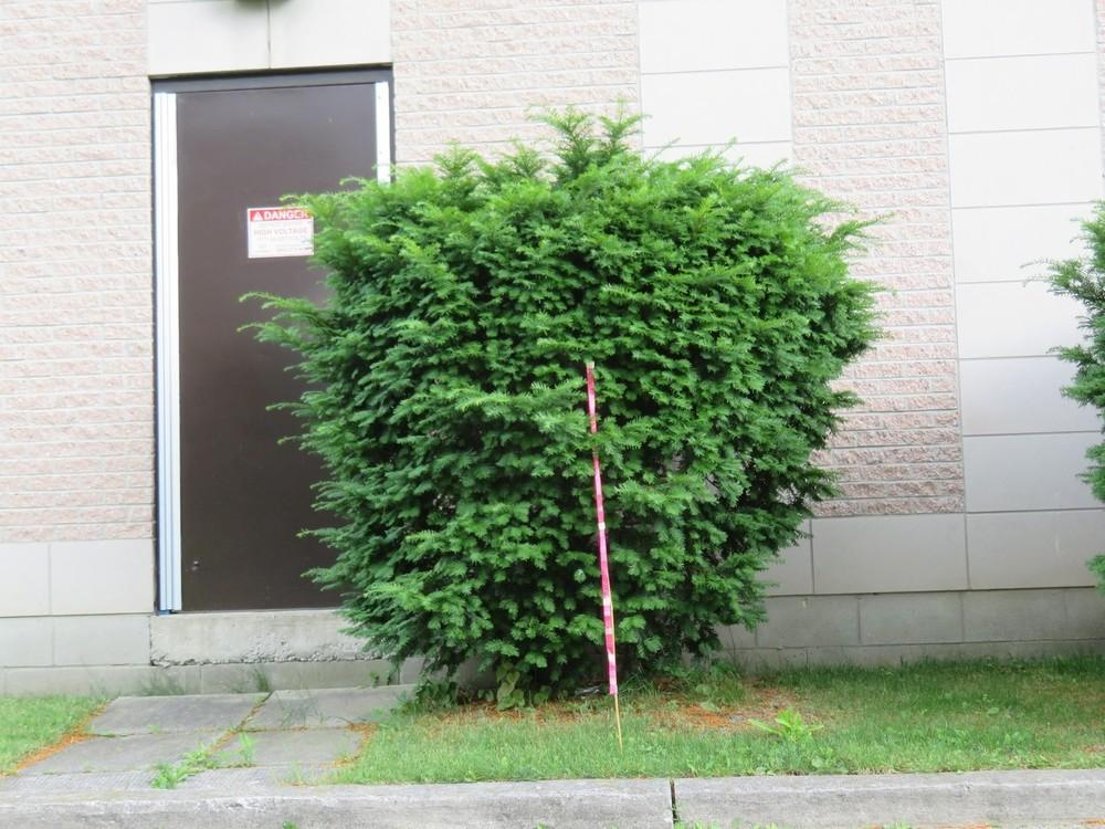 Very best Plant ID forum: Do you know what kind of Yew bush this is  KZ36