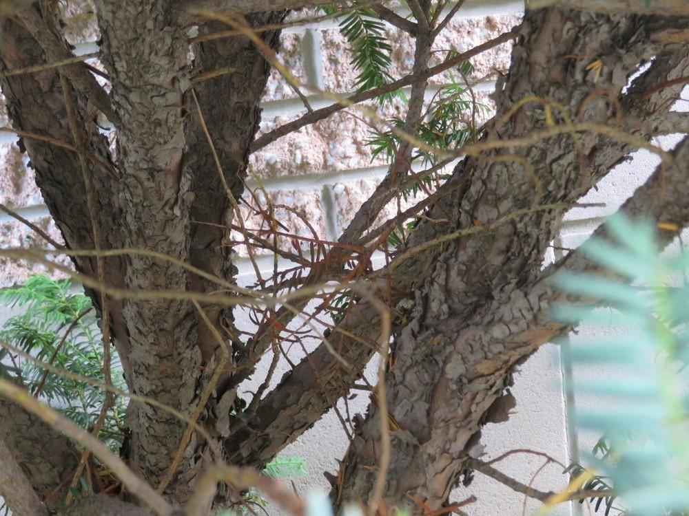 Best Plant ID forum: Do you know what kind of Yew bush this is  IR59