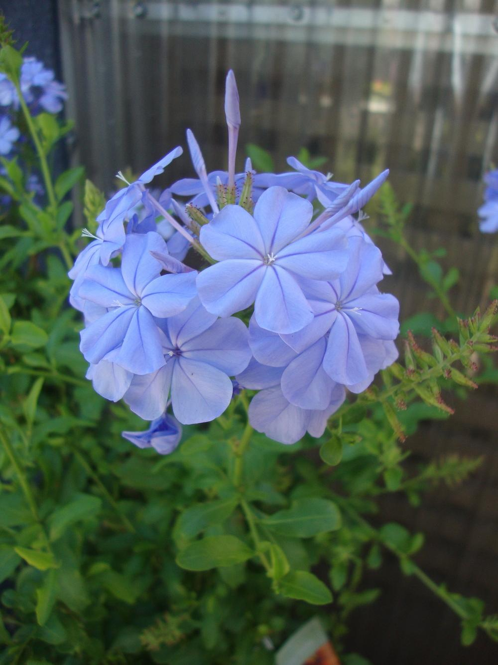 Photo of Cape Leadwort (Plumbago auriculata Royal Cape®) uploaded by Paul2032