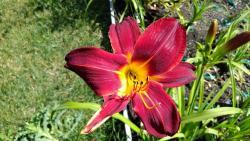 Thumb of 2017-06-30/DogsNDaylilies/3072b3