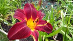 Thumb of 2017-06-30/DogsNDaylilies/479322