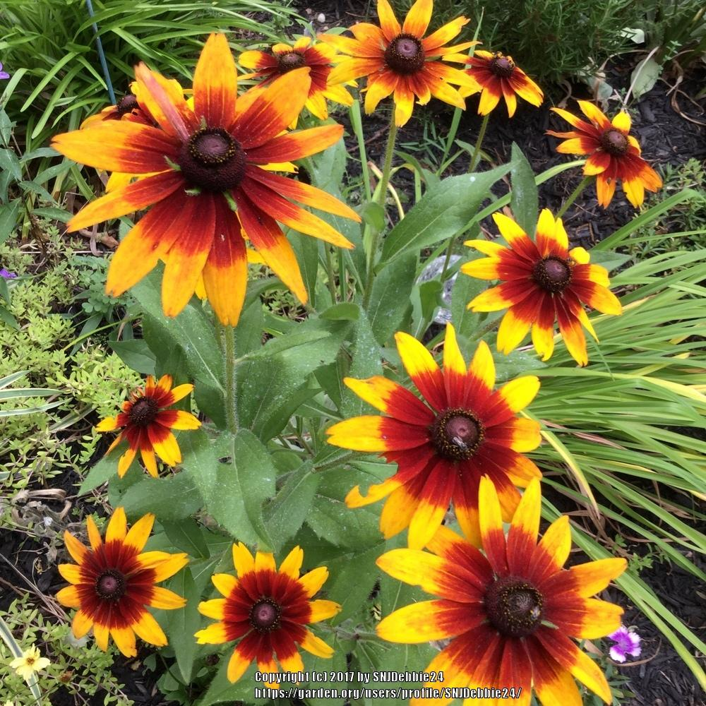 Black Eyed Susans Plant Care And Collection Of Varieties Gardenorg