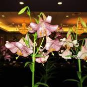 Location: St Louis Lily ShowDate: 2017-07-01