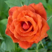 Location: La Crescenta, CADate: 2017-07-02This little rose is so very orange!