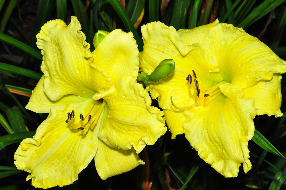Photo of the bloom of Daylily (Hemerocallis \'Brocaded Gown\') posted ...