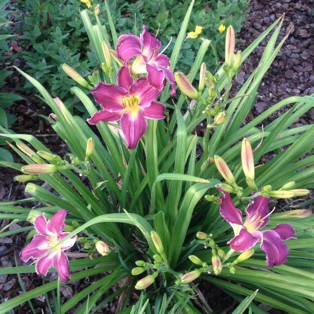 Photo of Daylily (Hemerocallis 'Indian Giver') uploaded by csandt