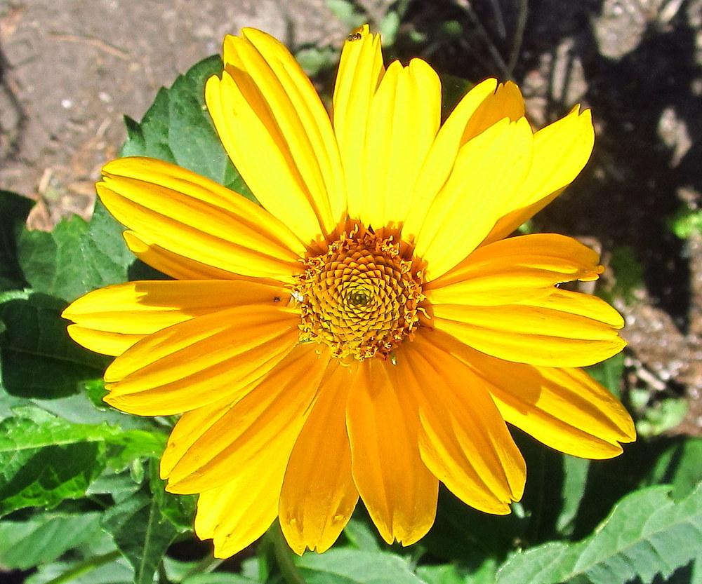 Photo of False Sunflower (Heliopsis helianthoides var. scabra Loraine Sunshine) uploaded by jmorth
