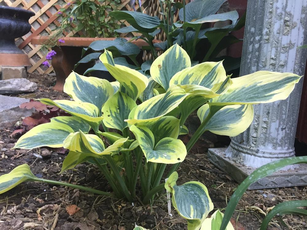 Photo of Hosta 'Ivory Coast' uploaded by SpringGreenThumb