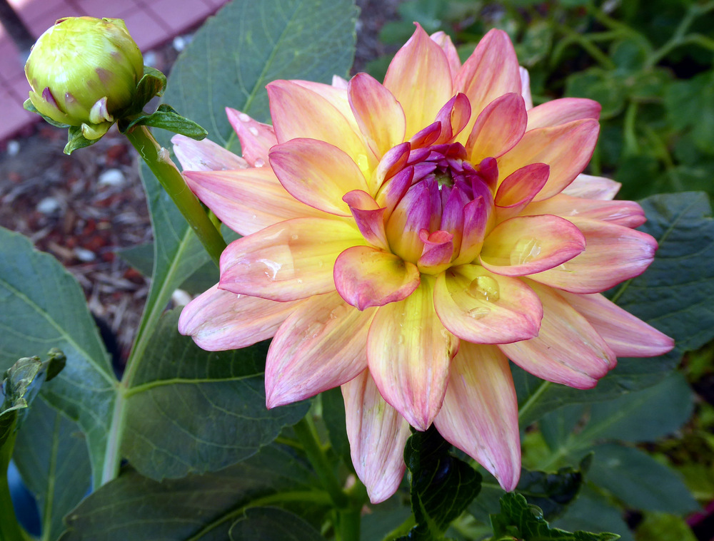 Photo of Dahlias (Dahlia) uploaded by JulieB