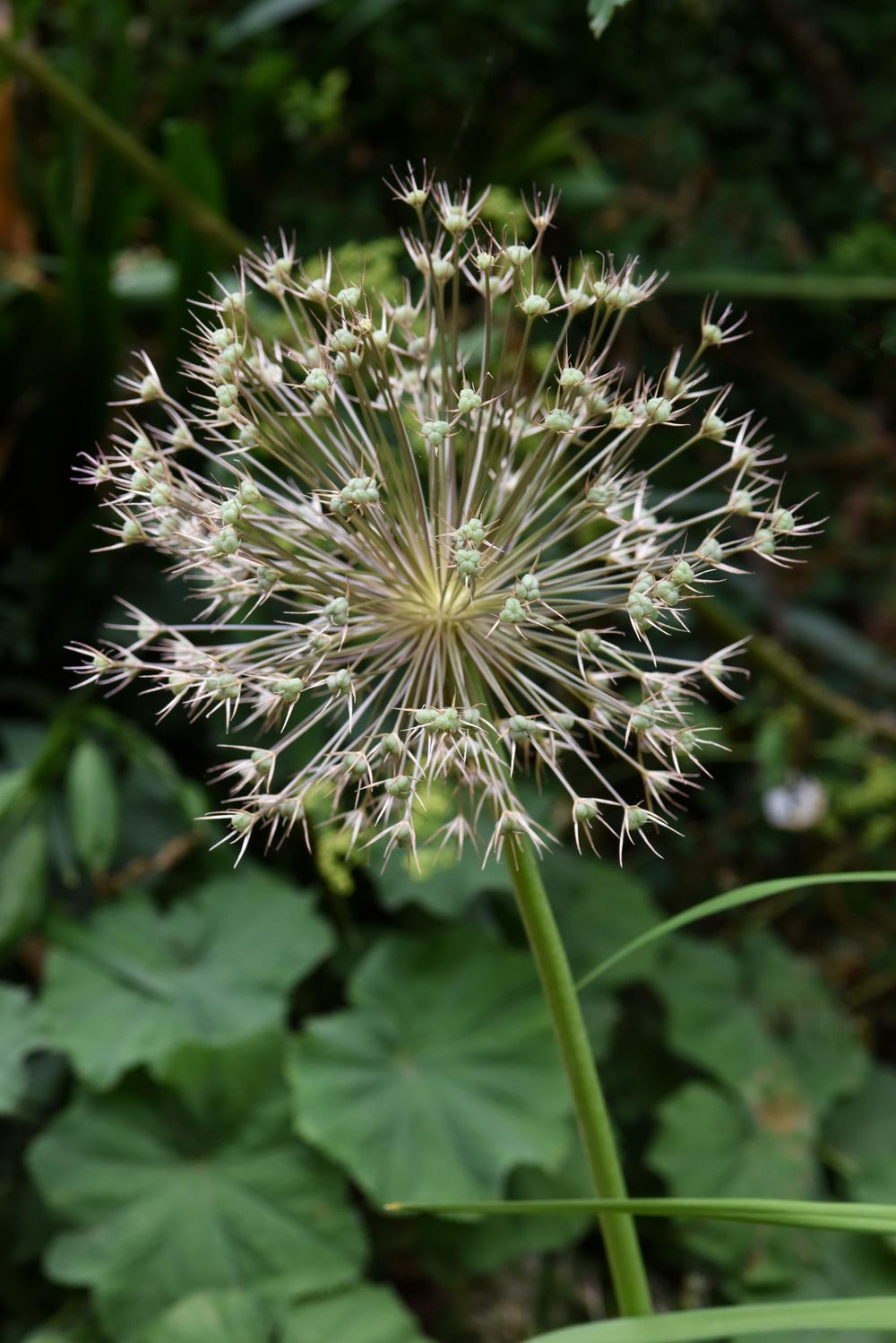 Photo of Stars of Persia (Allium cristophii) uploaded by cliftoncat
