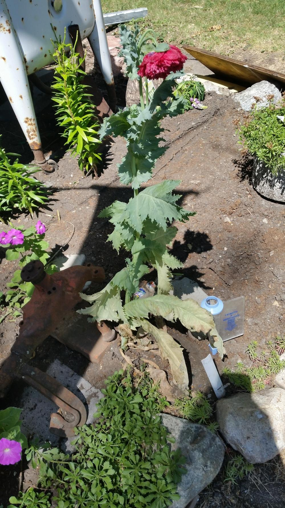 Plant ID forum Help Id this poppy Gardenorg
