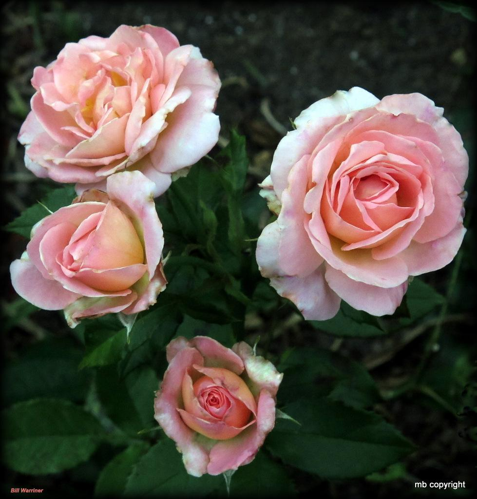 Photo of Rose (Rosa 'Bill Warriner') uploaded by MargieNY