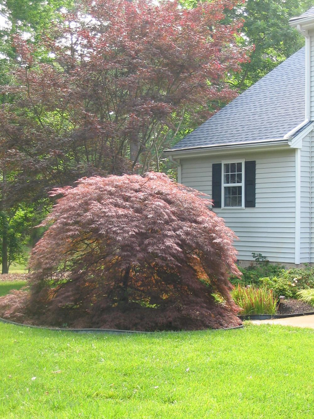 Photo Of The Entire Plant Of Cutleaf Japanese Maple Acer Palmatum