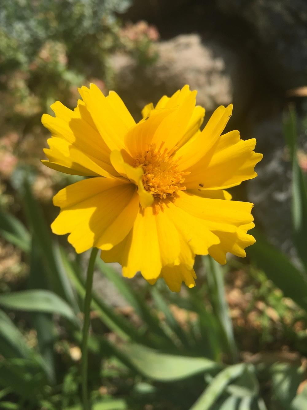 Photo of Largeflowered Tickseed (Coreopsis grandiflora) uploaded by SpringGreenThumb
