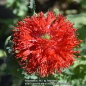 Location: My garden in N E Pa. Date: 2017-06-25This poppy is called Feathered Scarlet.