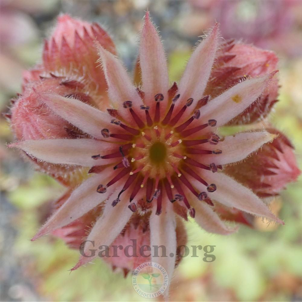 Photo of Hen and Chick (Sempervivum 'Roasted Chestnut') uploaded by Patty