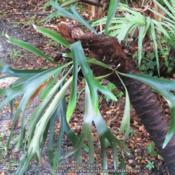 Location: Sebastian, FloridaDate: 2017-07-09Growing on Saw Palmetto (Serenoa repens) trunk in the b
