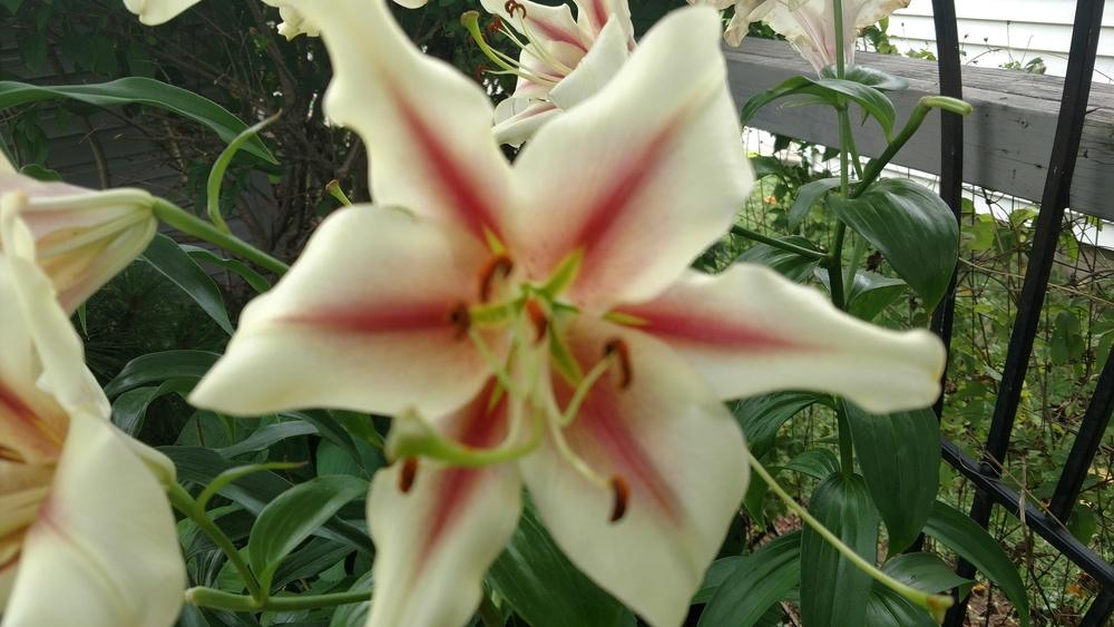 Photo of Lilies (Lilium) uploaded by StanviewGardner