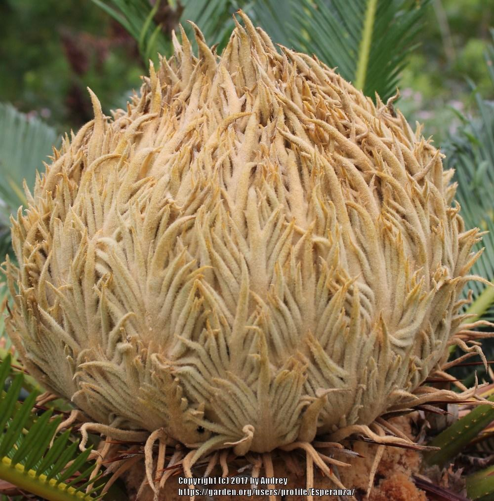 Photo of Sago Palm (Cycas revoluta) uploaded by Esperanza