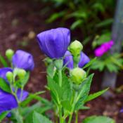 Location: Fellows Riverside Gardens, Youngstown, OhioDate: 2017-07-12Balloon Flower 011