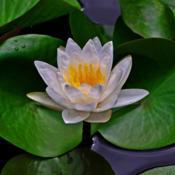 Location: Botanical Gardens of the State of Georgia...Athens, GaDate: 2017-07-12Water Lily 032