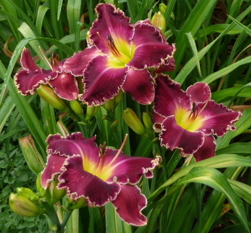Photo of Daylily (Hemerocallis 'Born to Reign') uploaded by twixanddud