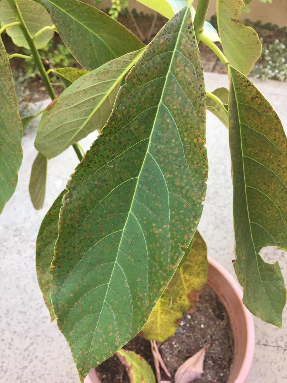Well-liked Ask a Question forum: Help please - brown spots on avocado plant  QA18