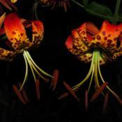 Photo of Lily (Lilium pardalinum)