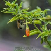 Photo of Hot Pepper (Capsicum annuum 'Serrano')