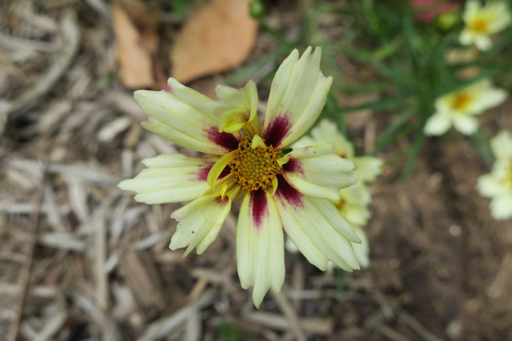 Photo of Tickseed (Coreopsis Li'l Bang™ Starlight) uploaded by 2Dogsmother
