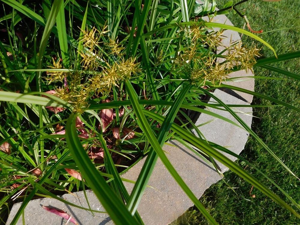 How To Get Rid Of Nutsedge In Flower Beds