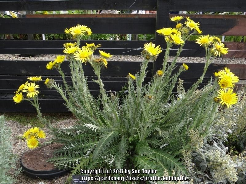 Plant id forum spiky leaves with yellow flowers garden thumb of 2017 07 15kniphofiacd5916 mightylinksfo