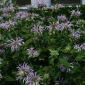 Location: Washington D.C.Date: 2017-07-02Monarda fistulosa in full bloom