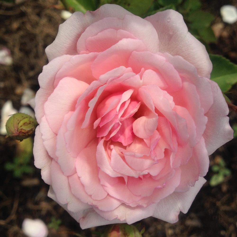Photo of Rose (Rosa 'Duchesse de Brabant') uploaded by csandt