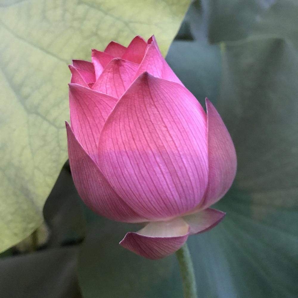 Photo of Sacred Lotus (Nelumbo 'Momo Botan') uploaded by delicatustraba