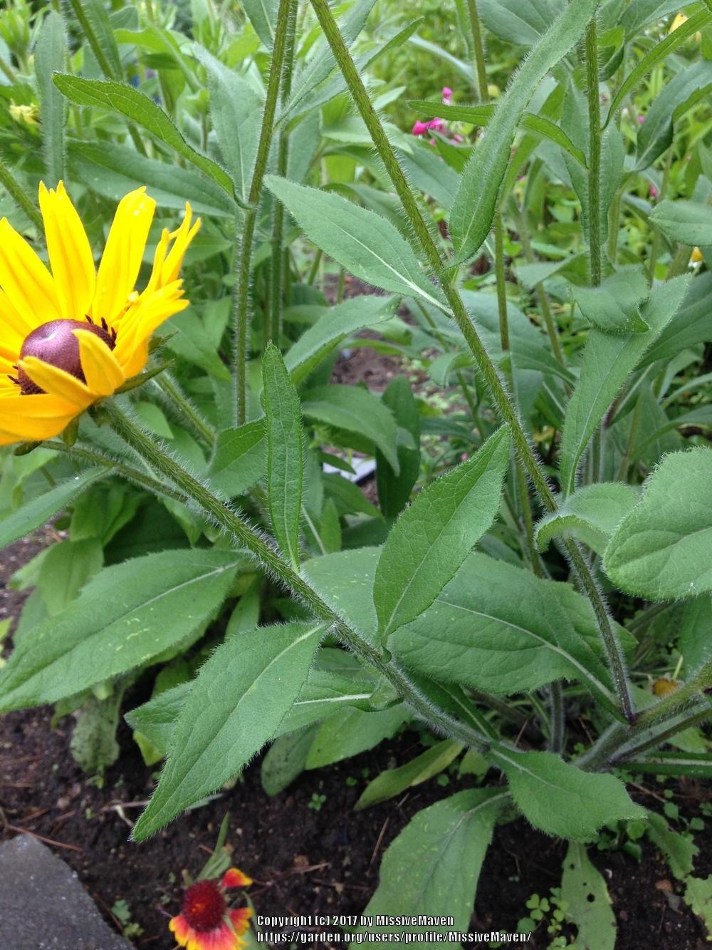 Plant Id Forum Rudbeckia Cultivar Very Large Hairy
