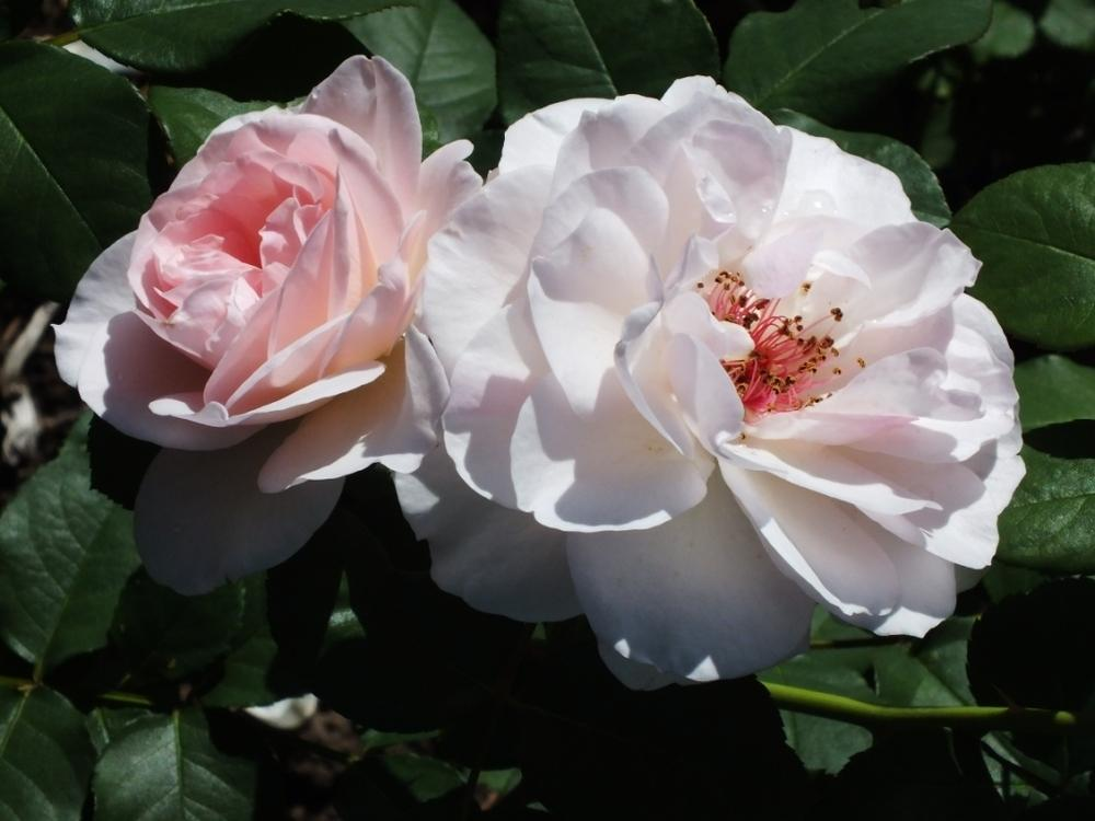 Photo of Rose (Rosa 'Adorabelle') uploaded by sunnyvalley