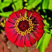 Location: Botanical Gardens of the State of Georgia...Athens, GaDate: 2017-07-19Red Zinnia - Flower In A Flower 003