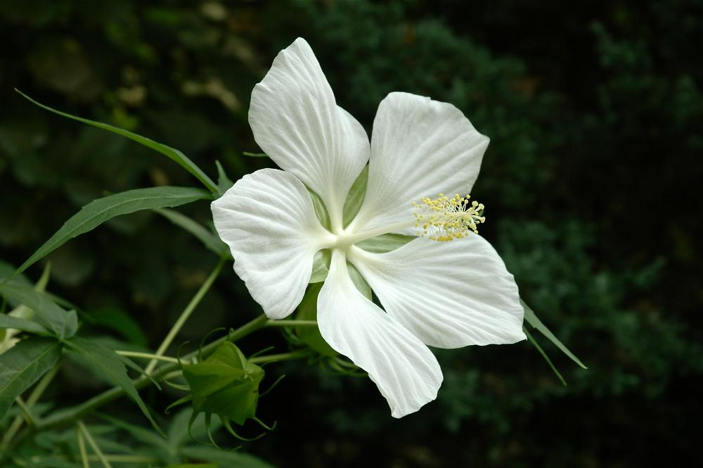 Photo Of The Bloom Of White Texas Star Hibiscus Hibiscus Coccineus