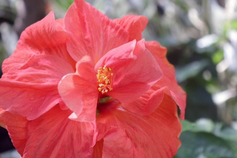 Photo of Tropical Hibiscuses (Hibiscus rosa-sinensis) uploaded by RuuddeBlock