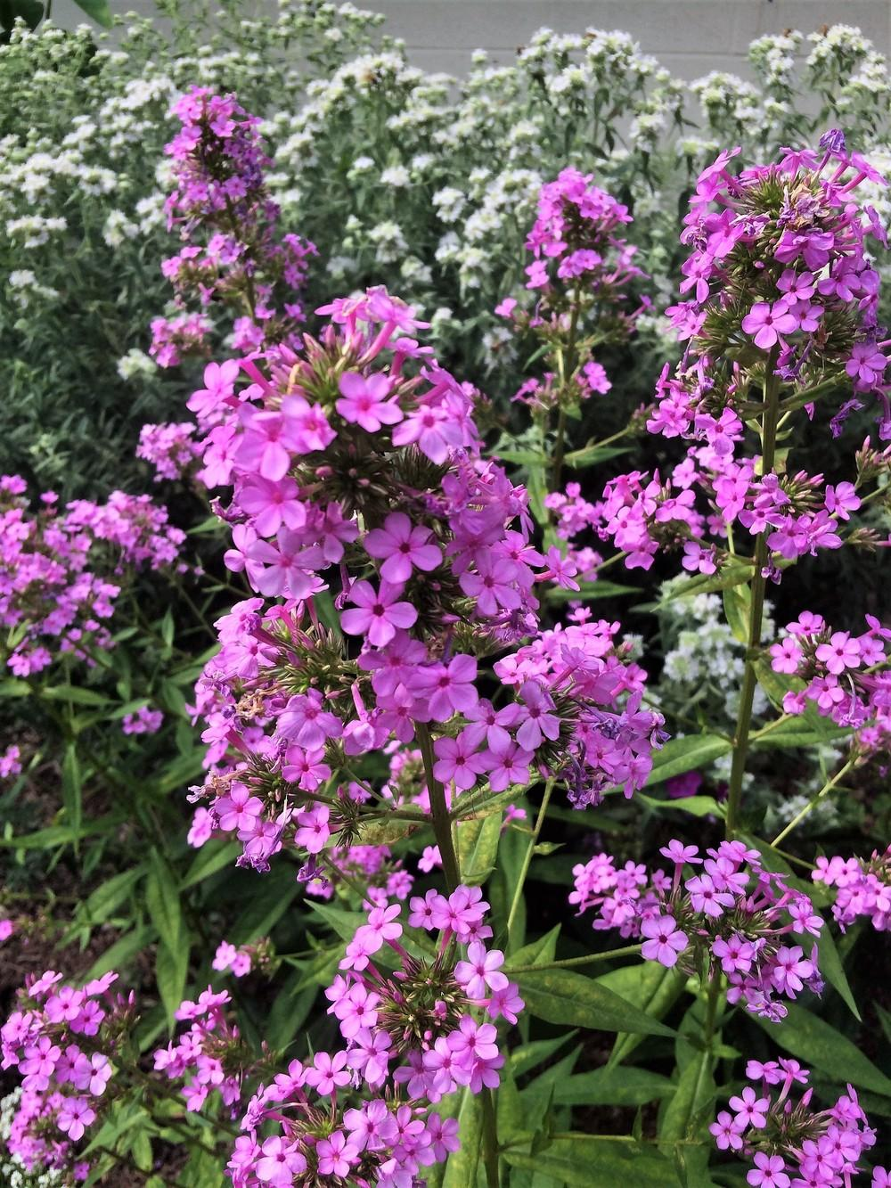 Photo of Garden Phlox (Phlox paniculata 'Jeana') uploaded by nativeplantlover