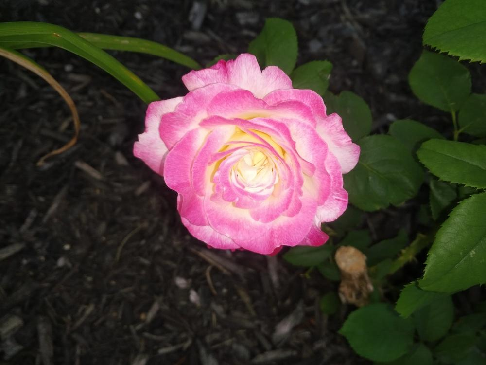 Photo of Rose (Rosa 'Double Delight') uploaded by BPadilla
