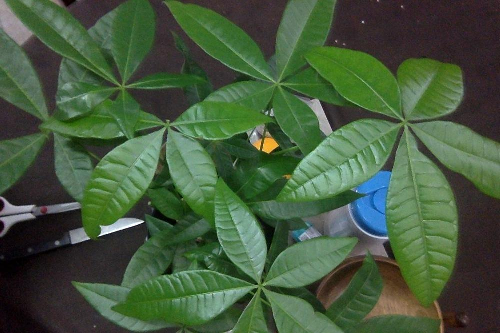 Photo of Money Tree (Pachira aquatica) uploaded by RileyParsons