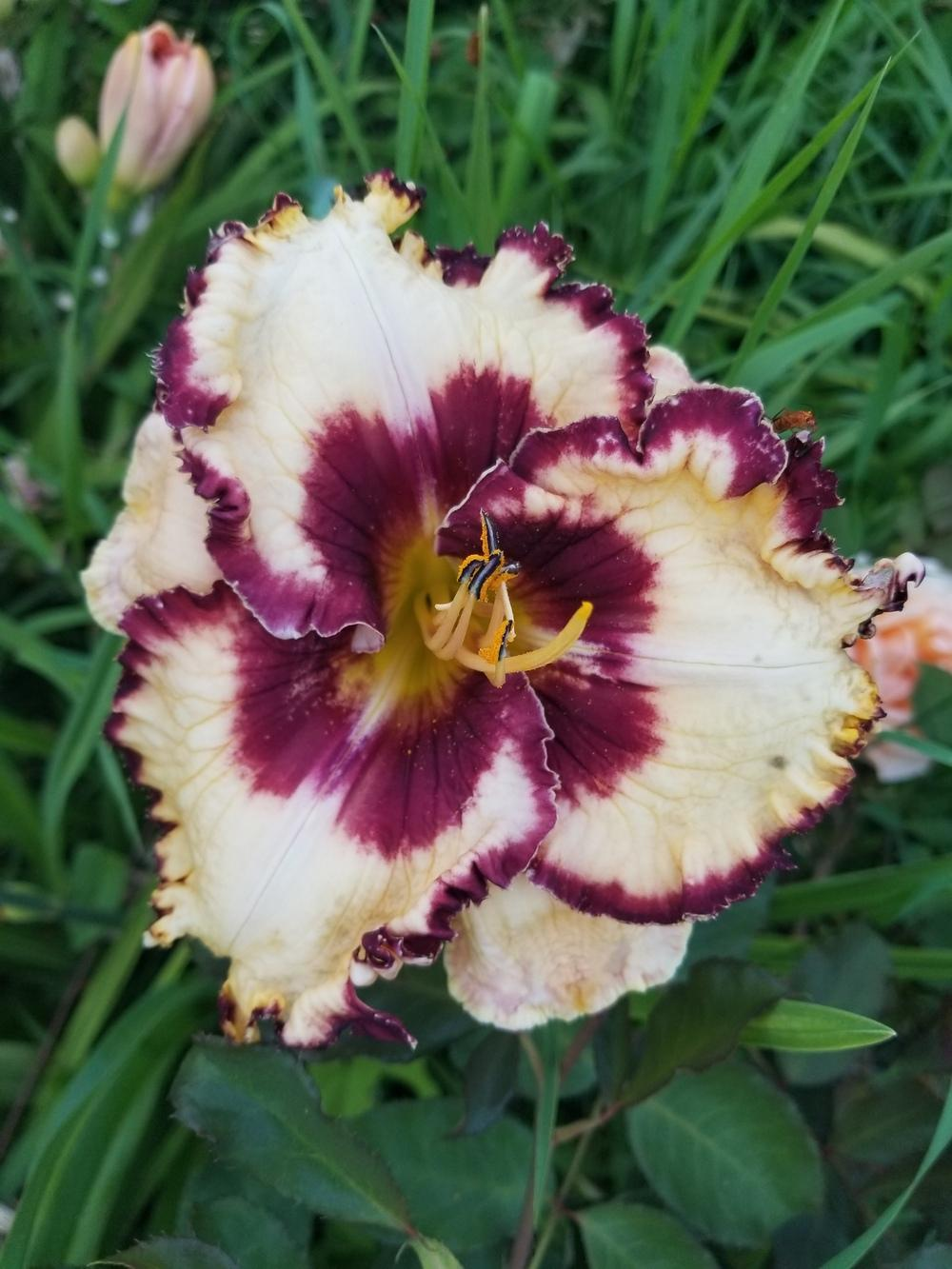 Photo of Daylily (Hemerocallis 'The Dominator') uploaded by TomThumb