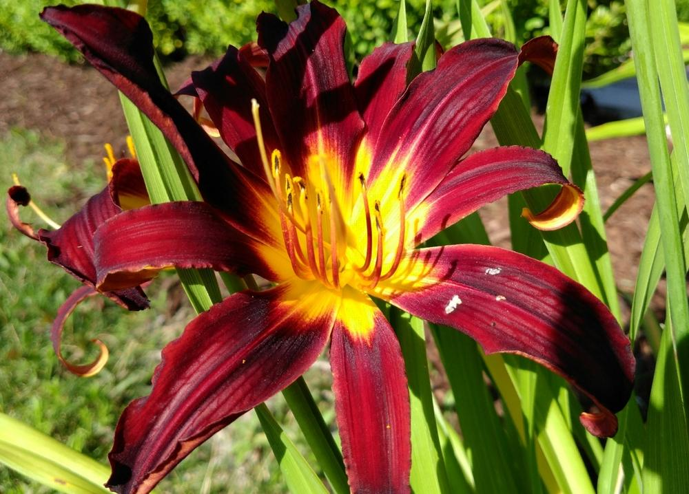 Photo of Daylily (Hemerocallis 'Black Plush') uploaded by DogsNDaylilies