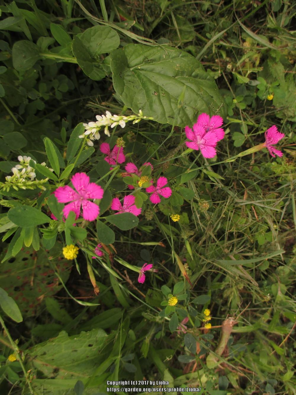 Plant Id Forum Tiny Surreal Pink Mountain Meadow Flower Garden